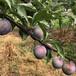 黔南五月脆李樹苗小苗基地;早熟五月脆李苗品種有哪些