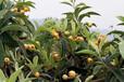 早熟枇杷苗多少錢;雅安早熟枇杷苗種苗培育中心