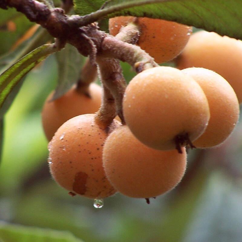 早熟枇杷苗有哪些品种;六盘水枇杷树苗批发真实价格