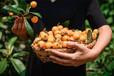 枇杷苗報價,晚熟枇杷苗價格2020