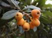 早熟枇杷苗品種有哪些;常德早熟枇杷苗1公分苗的價格
