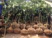 早熟枇杷苗批發;雅安早熟枇杷樹苗種苗基地