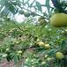 青脆李苗品種,雅安晚熟青脆李樹苗種苗繁育基地
