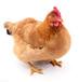 達龍精品油黃肽一款家禽快速長黃油母雞黃油多的秘訣