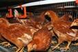 老母雞黃油的功效母雞黃油的營養價值如何讓母雞長黃油