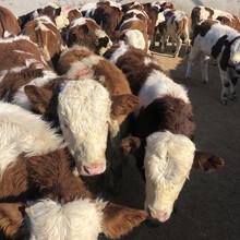 廣西賀州5個月西門塔爾牛犢多少錢圖片