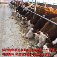 陜西安康5個月西門塔爾牛犢多少錢一只圖片