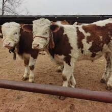 甘肅蘭州西門塔爾四代母牛價格圖片