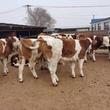 湖南株洲5個月西門塔爾牛犢價格多少一頭圖片