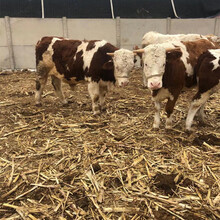 內蒙古阿拉善盟300斤西門塔爾牛價格多少一頭圖片