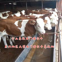 山西晉中四代西門塔爾小母牛多少錢圖片