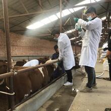 淮安四百斤的西门塔尔小母牛出售图片