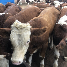 西门塔尔基础母牛四五百斤价格图片