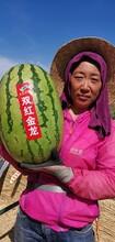 双红金城系列双红金龙精品西瓜种子图片