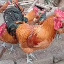 重慶肉雞苗價格青腳雞苗行情價格全程提供飼養管理技術圖片
