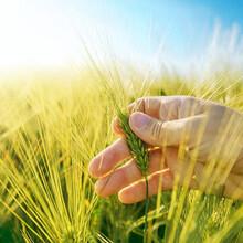 大麦种子新品种大麦种子批发处图片