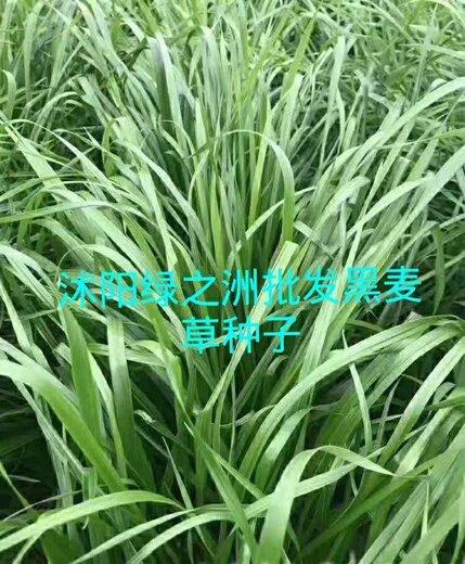 耐寒牧草黑麦草价格品种多样