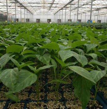 海泽拉进口安迪(86028)绿色方椒种子苗子寿光辣椒育苗基地