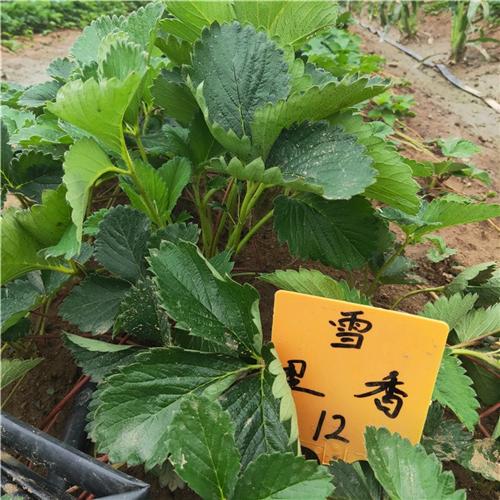 小白草莓苗成交价格