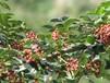 内蒙古阿拉善盟山东花椒树批发价格保湿邮寄方便快捷
