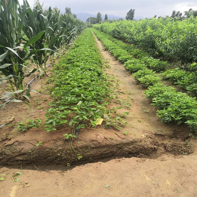 太空2008草莓苗苗圃基地,太空2008草莓苗新品种基地