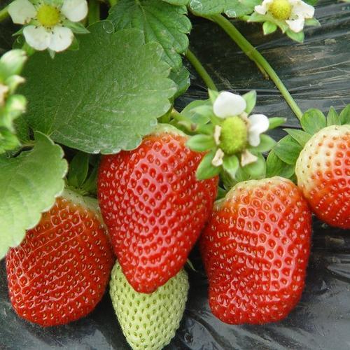 妙香七號草莓苗種植須知,妙香七號草莓苗品種介紹