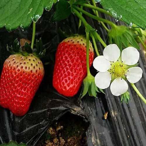 章姬草莓苗批发,章姬草莓苗管理办法