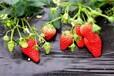 紅顏草莓苗市場價格,紅顏草莓苗品種優良成活率高