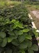 隨株草莓苗種植要領,隨株草莓苗種植技術要求