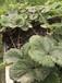 四季草莓苗種植方法,四季草莓苗批發價格