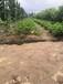 隨株草莓苗品種介紹,隨株草莓苗簡介