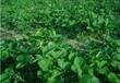 妙香3號草莓苗種植技術要求,妙香3號草莓苗管理辦法