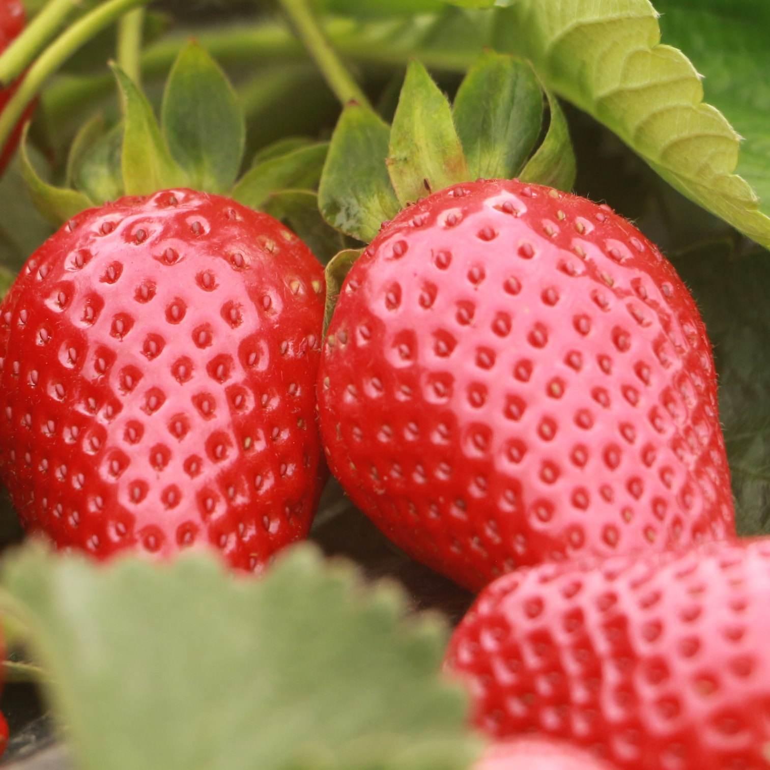 甜查理草莓苗根系发达,甜查理草莓苗综合性状表现