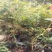 火花盆栽藍莓苗供應火花藍莓苗市場品種
