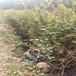 萊格西盆栽藍莓苗供應萊格西藍莓苗貨源量大從優