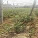 北藍盆栽藍莓苗供應北藍藍莓苗市場品種