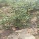蘇茜蘭盆栽藍莓苗供應蘇茜蘭藍莓苗貨源量大從優