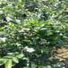 藍金盆栽藍莓苗供應藍金藍莓苗供應貨源地批發