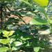 伊麗莎白盆栽藍莓苗供應伊麗莎白藍莓苗供應廠家直供