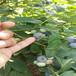 錢德勒盆栽藍莓苗供應錢德勒藍莓苗貨源農戶推廣