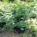 德雷鉑盆栽藍莓苗供應德雷鉑藍莓苗技術貨源地批發