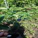 公爵盆栽藍莓苗供應公爵藍莓苗介紹量大從優