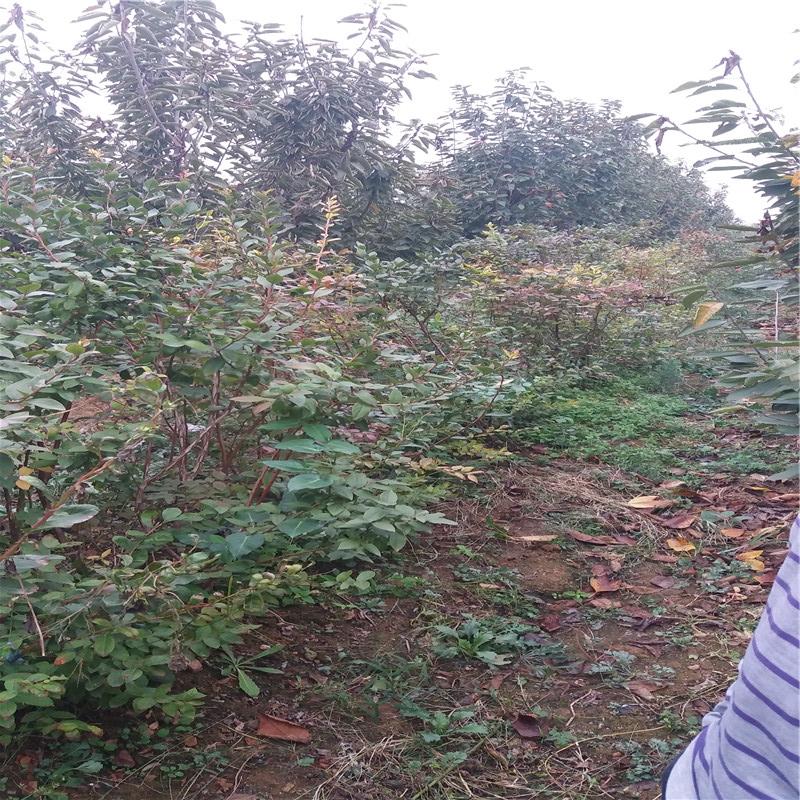 圣云盆栽蓝莓苗供应圣云蓝莓苗种植量大从优