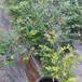 芬蒂盆栽藍莓苗供應芬蒂藍莓苗介紹質優價廉