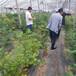 火花盆栽藍莓苗供應火花藍莓苗種植貨源地批發