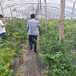 優瑞卡盆栽藍莓苗供應優瑞卡藍莓苗介紹農戶推廣