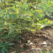 H5盆栽藍莓苗供應H5藍莓苗介紹質優價廉