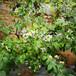 藍金盆栽藍莓苗供應藍金藍莓苗市場適合推廣