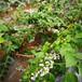 藍金盆栽藍莓苗供應藍金藍莓苗技術品種