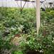 康維爾盆栽藍莓苗供應康維爾藍莓苗種植農戶推廣